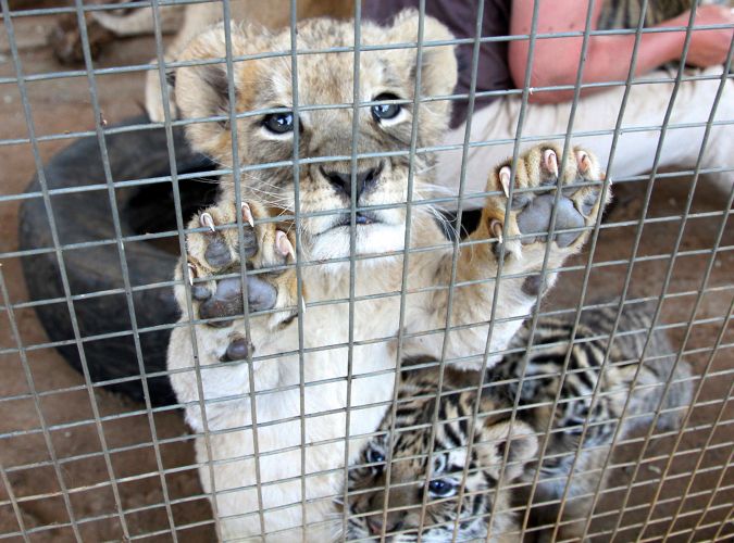 Tell South African authorities to ban cruel captive breeding of lions for profit