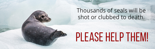 Urgent: Help seals before the slaughter begins!