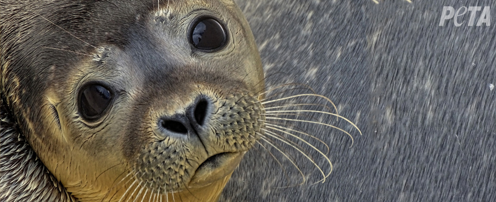 Help Protect Seals From Slaughter!