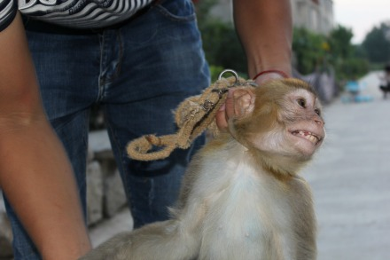 Circus cruelty EXPOSED - Monkey chained