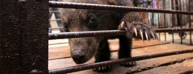 Bear Cubs Choked, Dragged, Caged