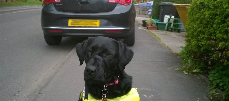 Black labrador guide dog sat looking at the camera in front of a car parked blocking the pavement.