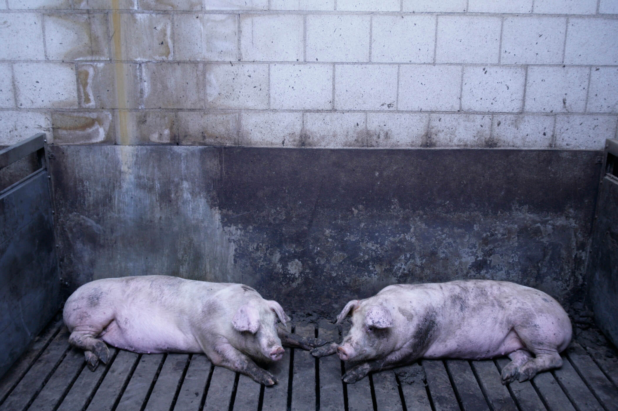Pigs indoors on slatted floor
