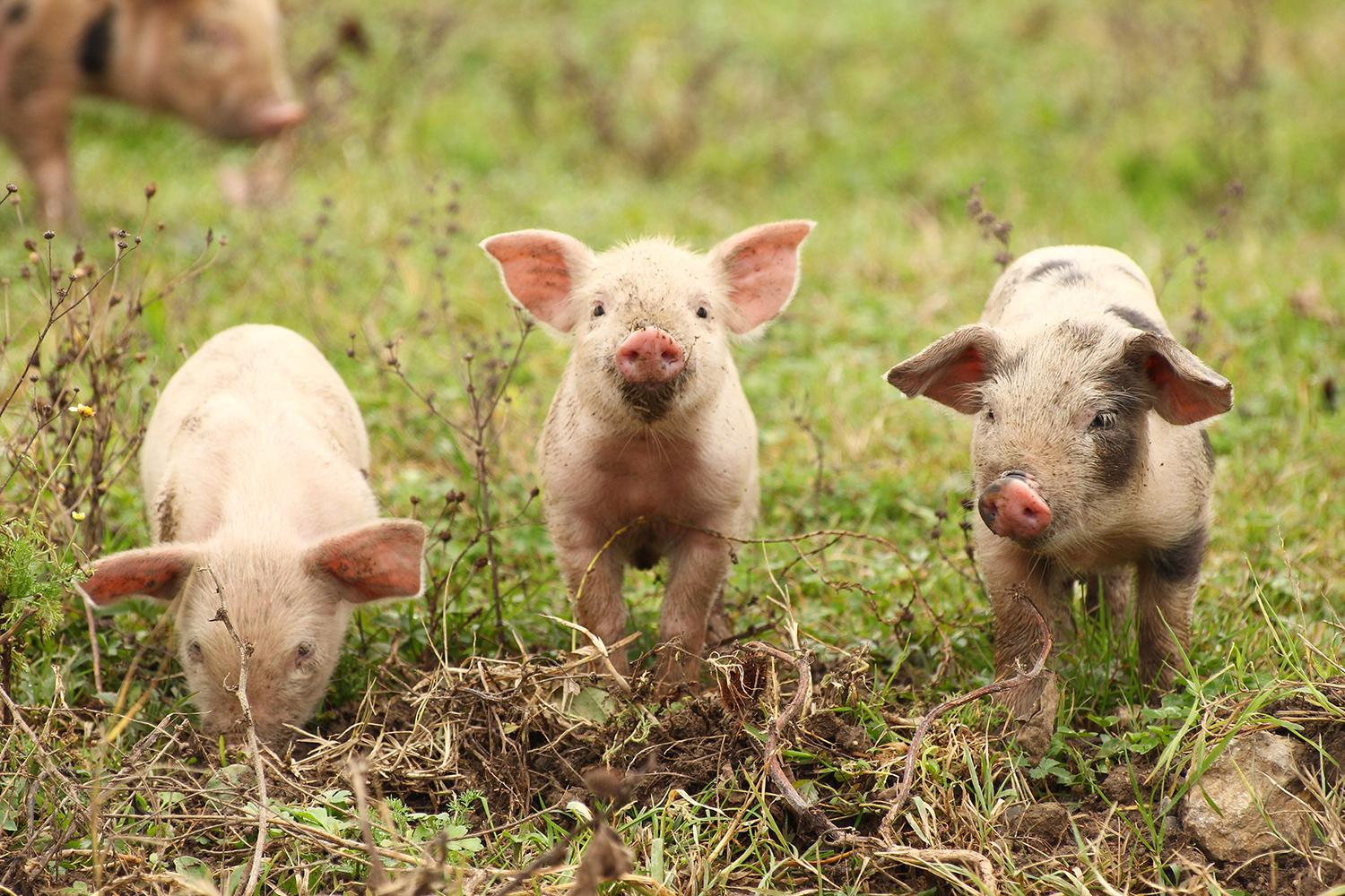Three piglets in a field