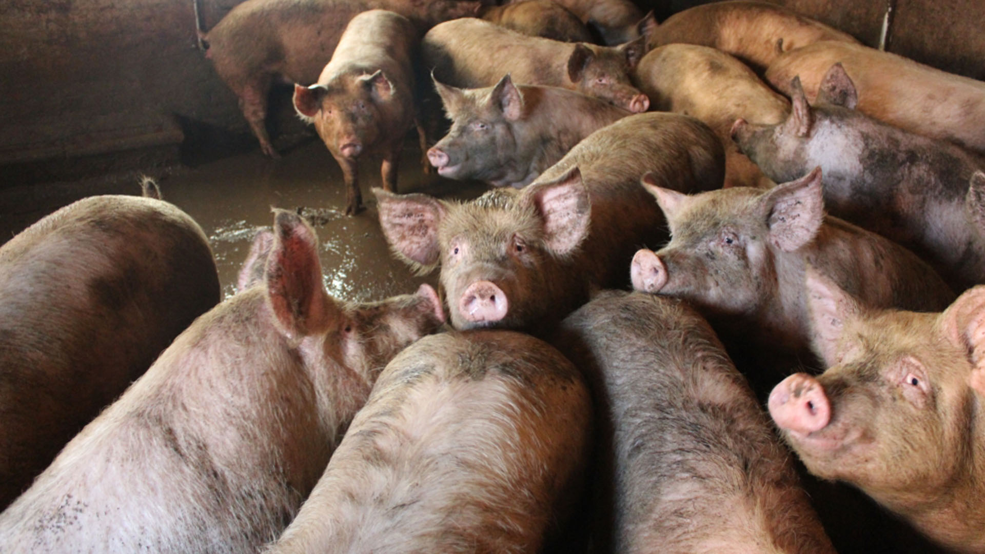 pigs crowded together standing in excrement