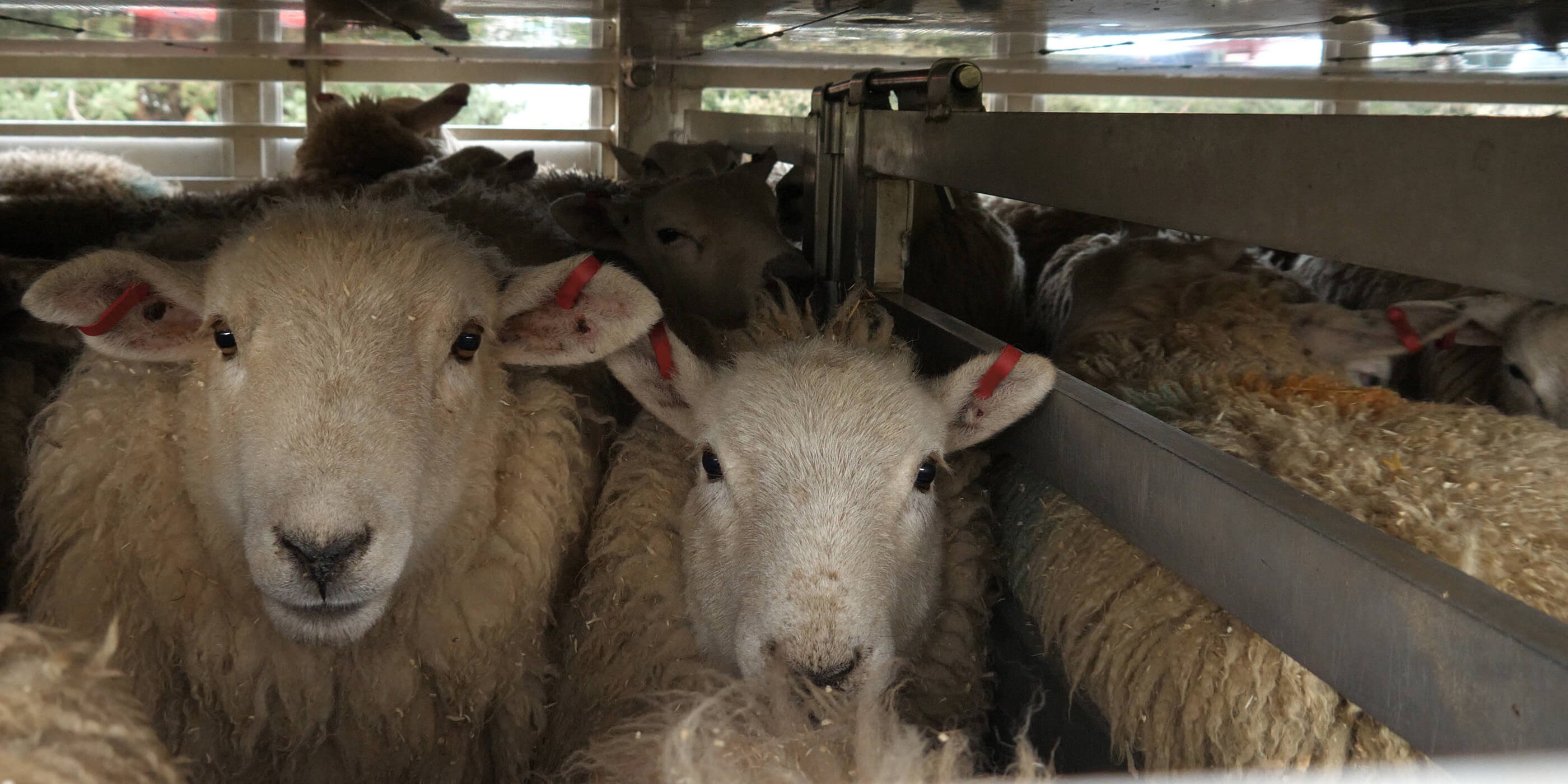 sheep packed into transport truck