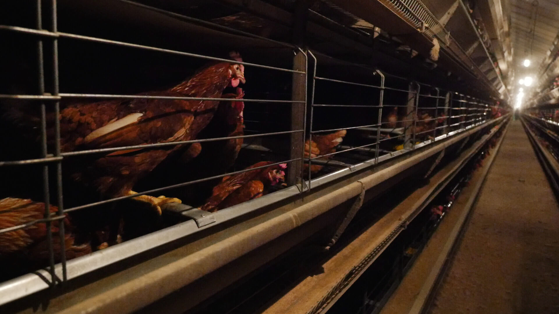 egg laying hens in enriched cages
