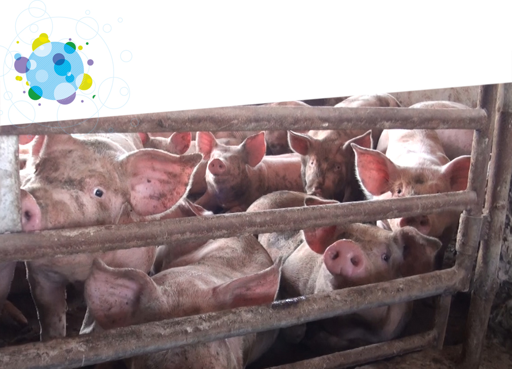 Crowded pigs in factory farm pen