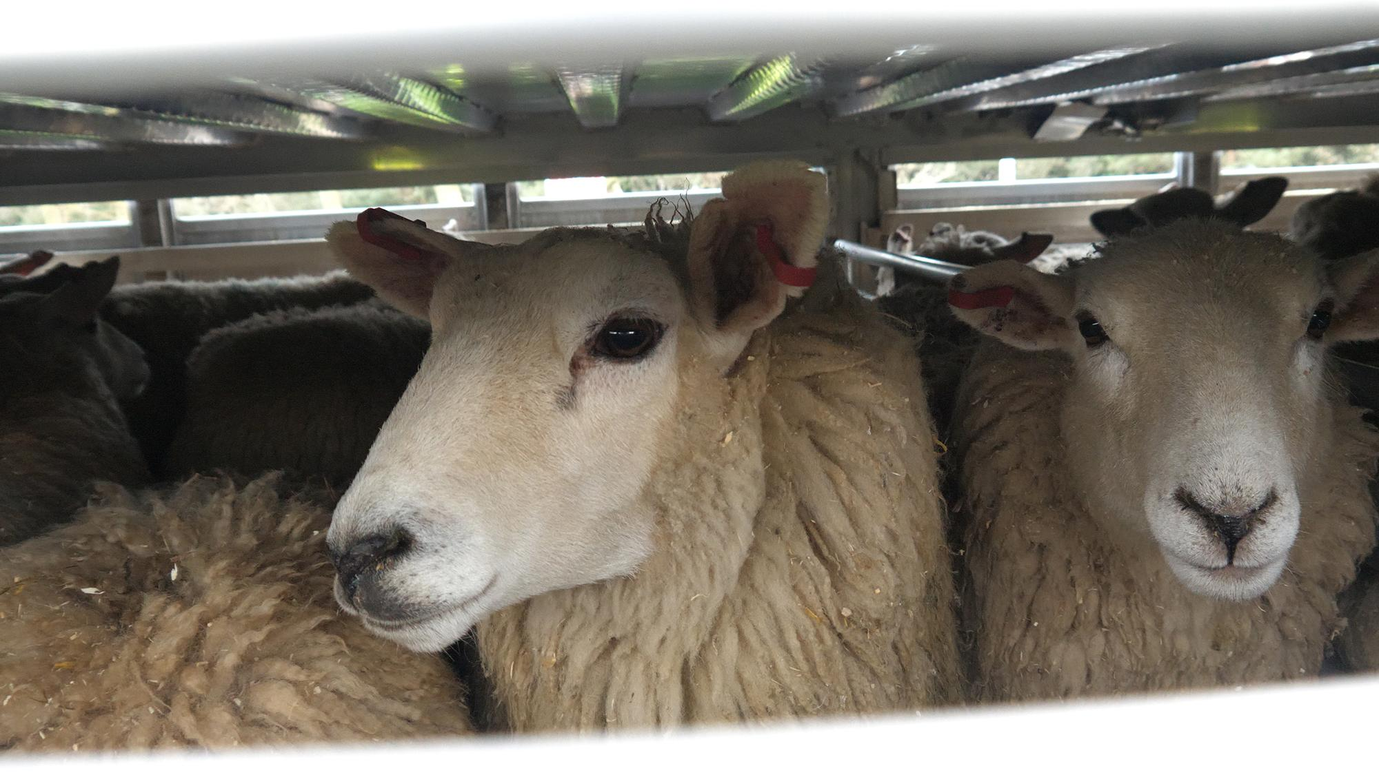 Sheep in live transport truck