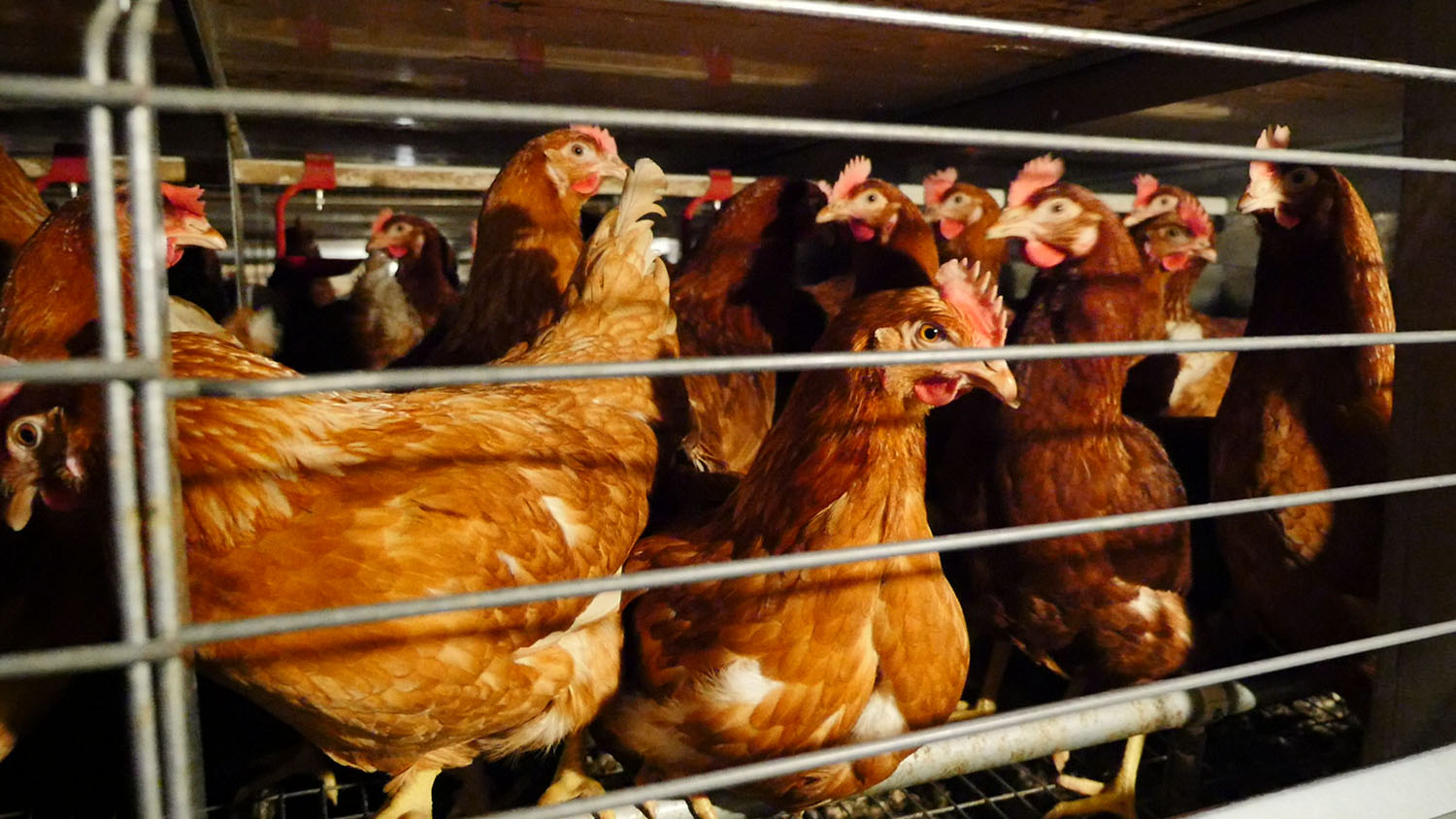 chickens in enriched cage