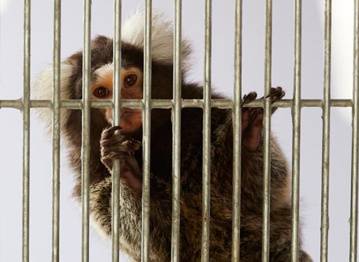 Marmoset in a cage