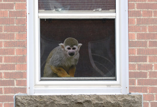 monkey at window