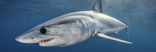 #Divers4Makos - Help end uncontrollable mako shark fishing