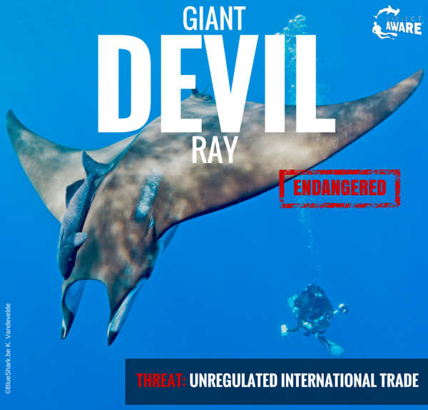 Donate to protect the Giant Devil Ray today