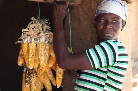 Saving seeds: A member of the Rural Women's Farmers Association of Ghana RUWFAG hanging corn to preserve the seeds for sowing. Near Lawra, Ghana