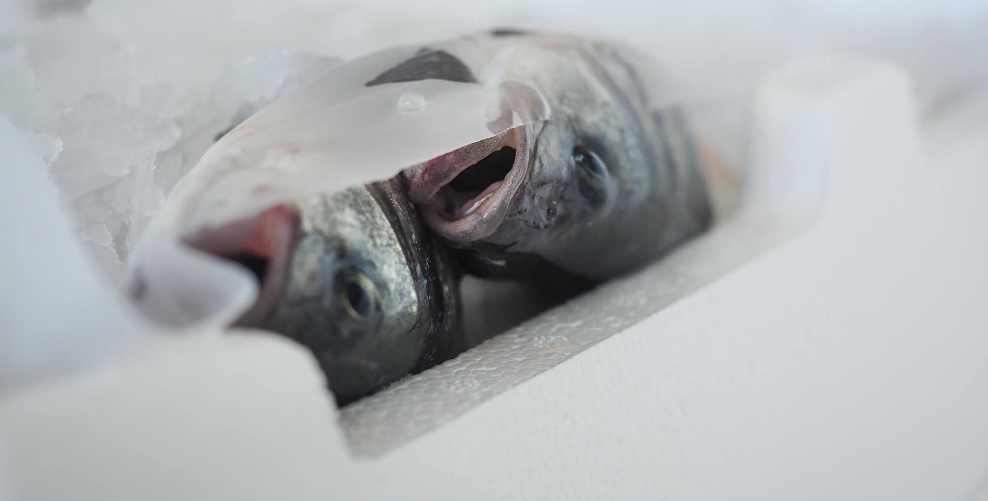 Two fish suffocating