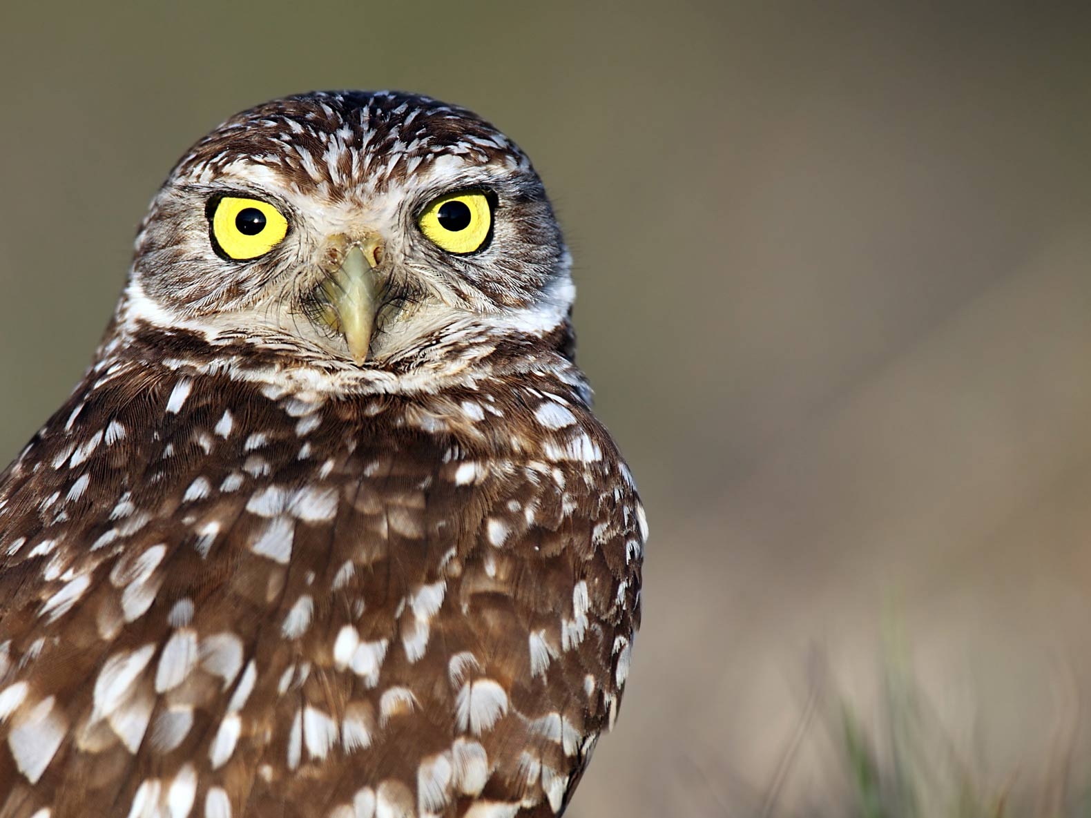 Burrowing-owl-Photo-by-Chris-Lorenz