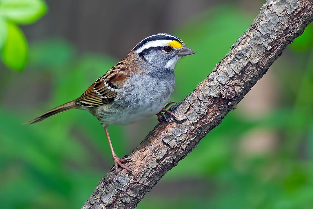 White-throated sparrow photo by Brian Kushner
