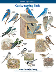 common cavity nesting bird poster