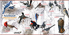 common nesting birds poster