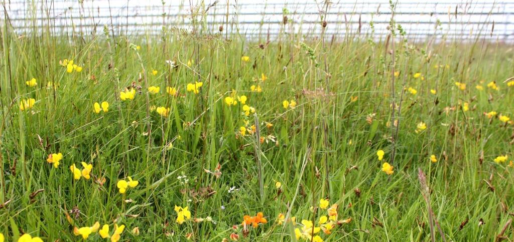 Rampisham Down - typical acid grassland flora edit.jpg