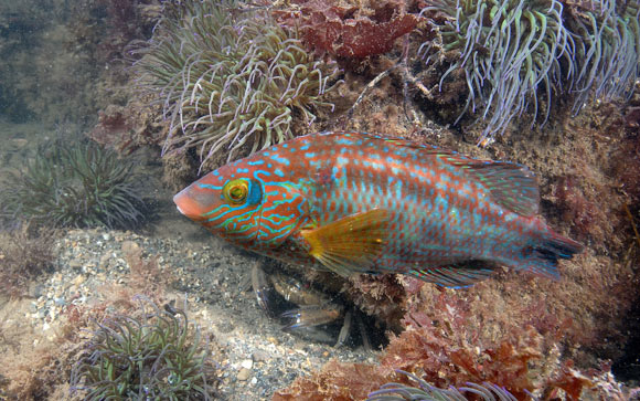 Male corkwing wrasse