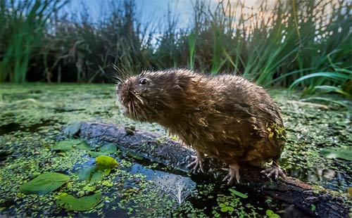 Gwent Levels Water vole