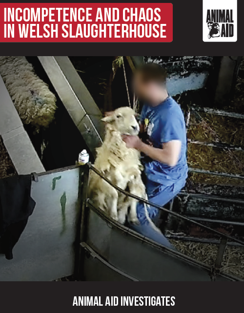 Welsh slaughterhouse investigation