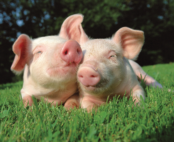 two piglets cuddling in the sunshine