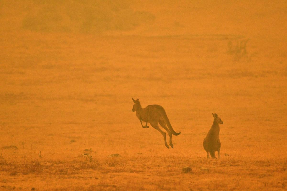 A kangaroo jumps in a field amidst smoke from a bushfire in Snowy Valley on the outskirts of Cooma. © SAEED KHAN / AFP via Getty Images