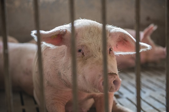 Pig staring out from behind bars