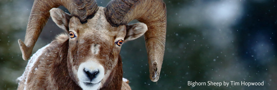 Donation Page Bighorn Sheep.png