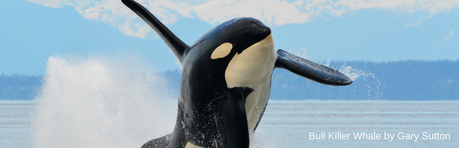 Donation Page Killer Whale.png