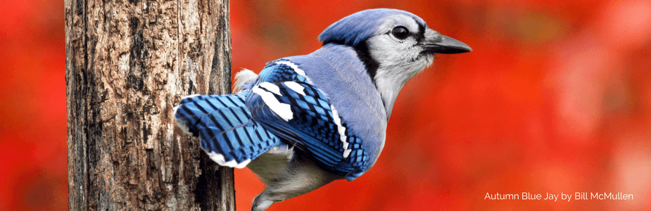 Donation-Page-Blue-Jay-compressor.png