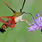 The Colourful Hummingbird Moth