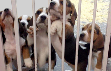 Beagle puppies behind bars
