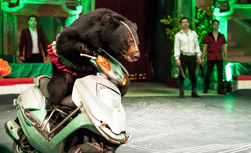 Bear on motor scooter in Vietnam, Animals Asia