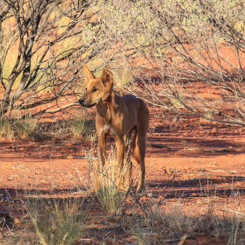 Protecting dingoes