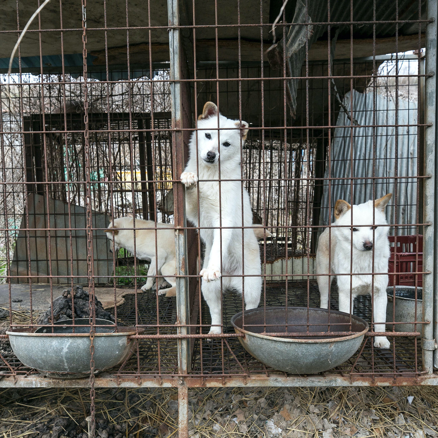 Dog meat 16