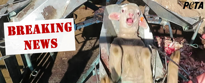 Help spare lambs, sheep, and other sensitive beings horrific abuse.