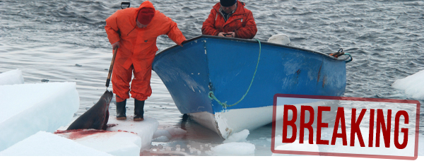 BREAKING: Canadian seal slaughter begins
