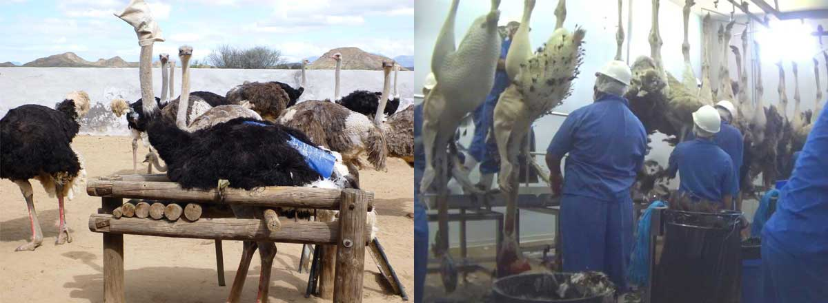 Ostrich in restraint device and carcasses in slaughterhouse