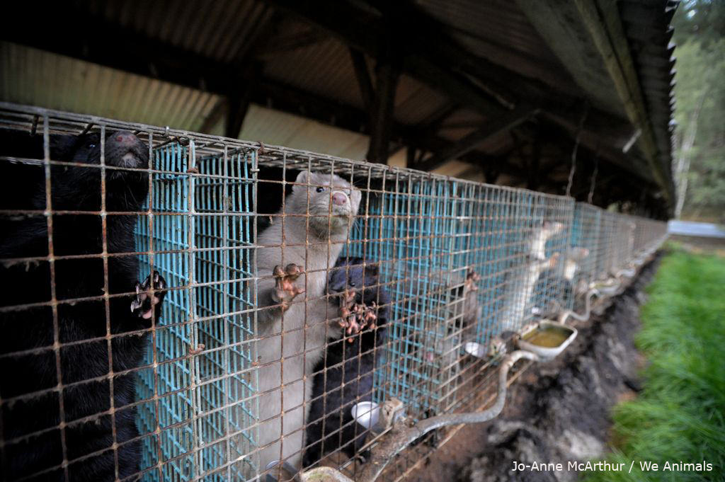 Mink kept in tiny cages on Swedish fur farms