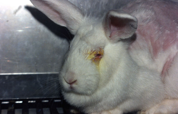 Rabbits are suffering in cruel experiments in the EU