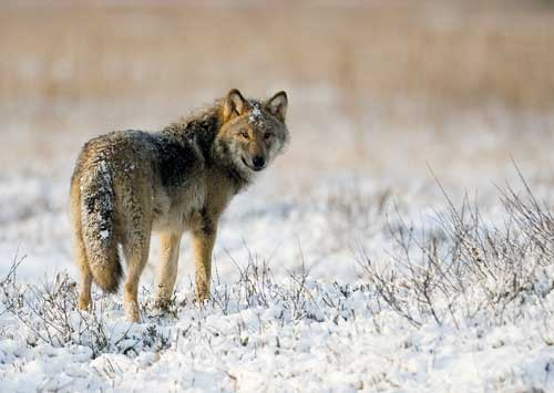 Speak out for Lapland's wolves