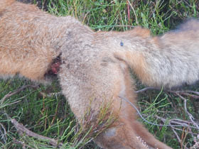 The wound on the snared fox at Glenogil