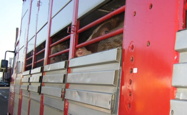 Cows being transported in a lorry